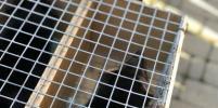 Московскому зоопарку подарили уникальных соболей