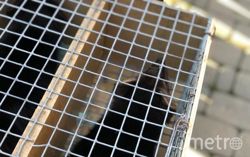 Баргузинский соболь. Фото предоставлено пресс-службой Московского зоопарка.