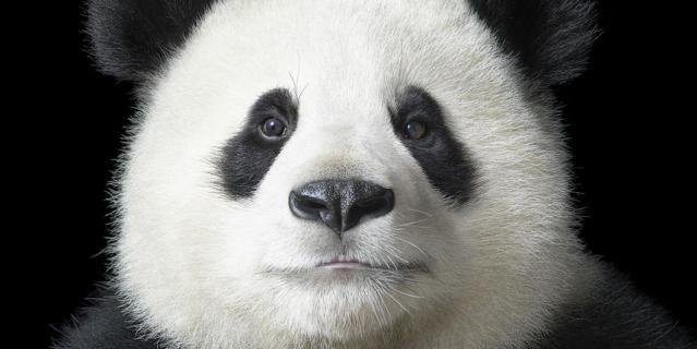 Поющая панда.