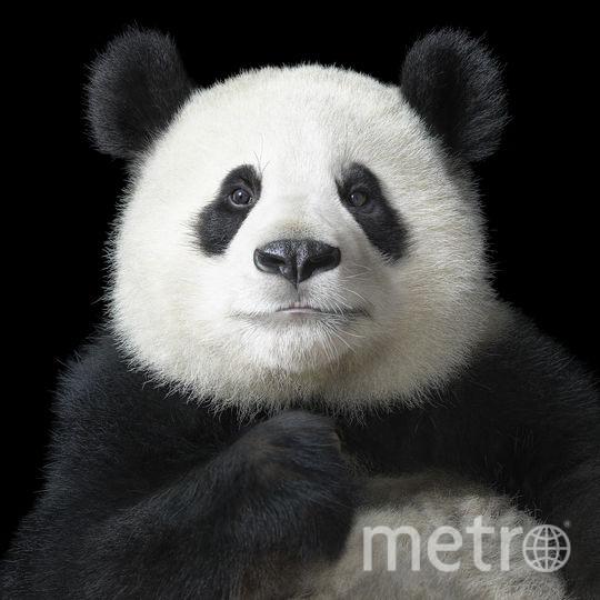 Поющая панда. Фото Предоставлено Центром фотографии им. братьев Люмьер