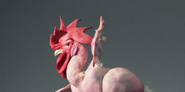 Цыплёнок-балерина.