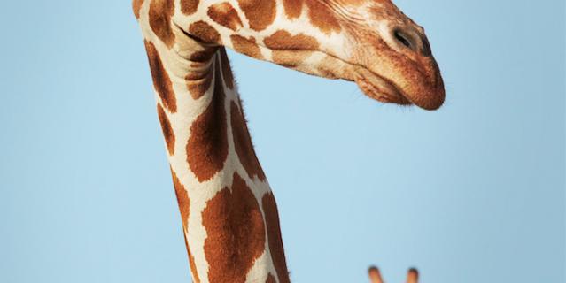 Тройной жираф.