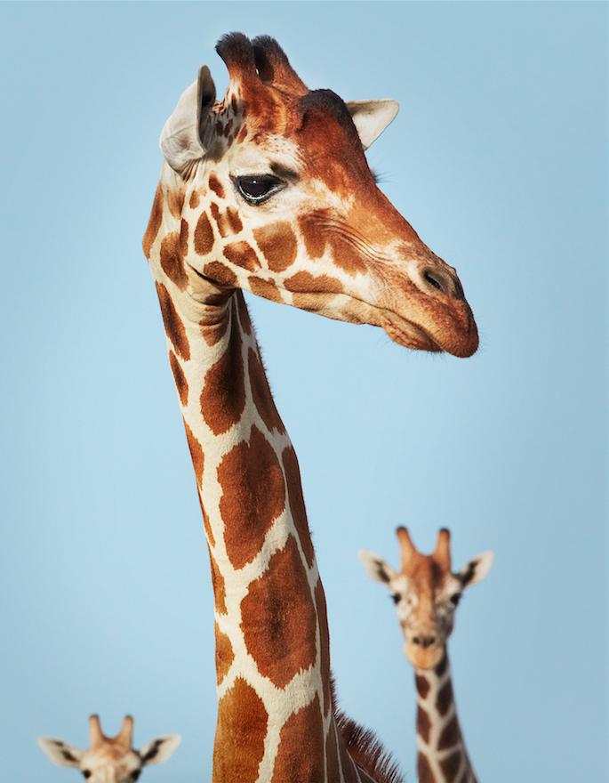 Тройной жираф. Фото Предоставлено Центром фотографии им. братьев Люмьер