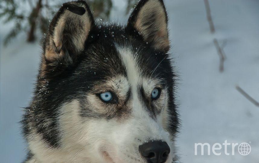 Собака породы хаски. Фото Pixabay