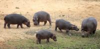 Жириновский призвал спасти бегемотов Замбии