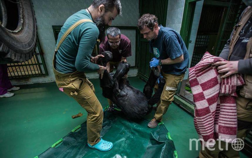 Поднять взрослую гориллу – задача не из лёгких. Фото пресс-служба Московского зоопарка