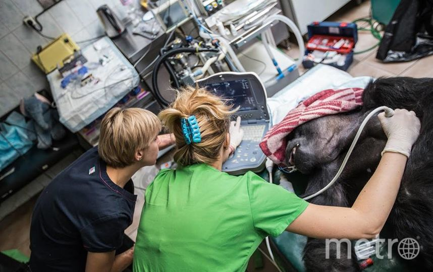 Пабси во время операции. Фото пресс-служба Московского зоопарка