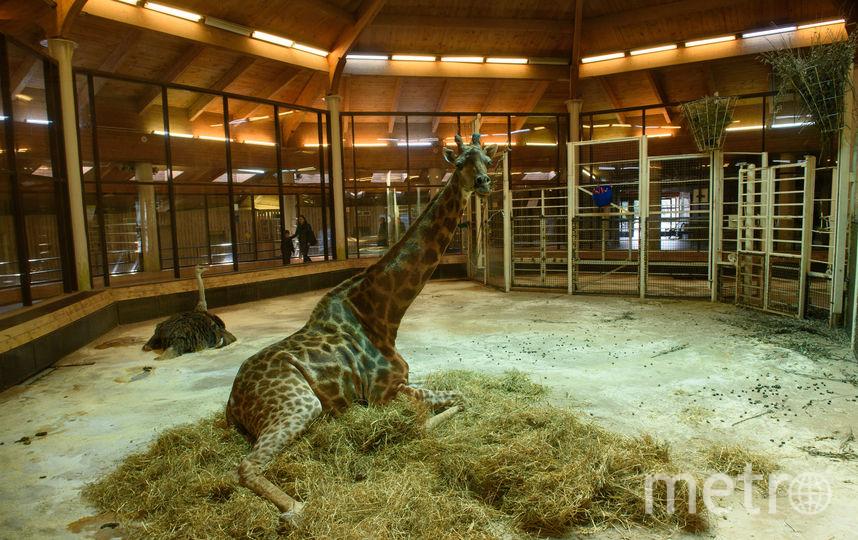 В свою зимнюю резиденцию уже переехал жираф Самсон. Фото Василий Кузьмичёнок