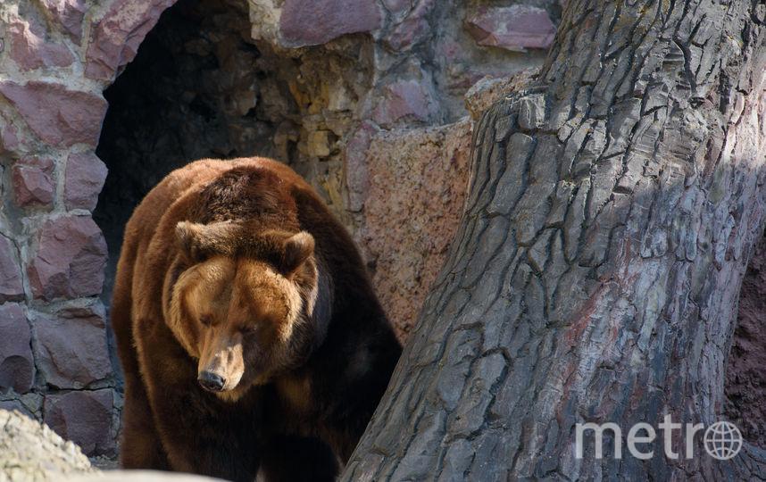 С наступлением морозов в своей искусственной берлоге заснёт бурая медведица. Фото Василий Кузьмичёнок
