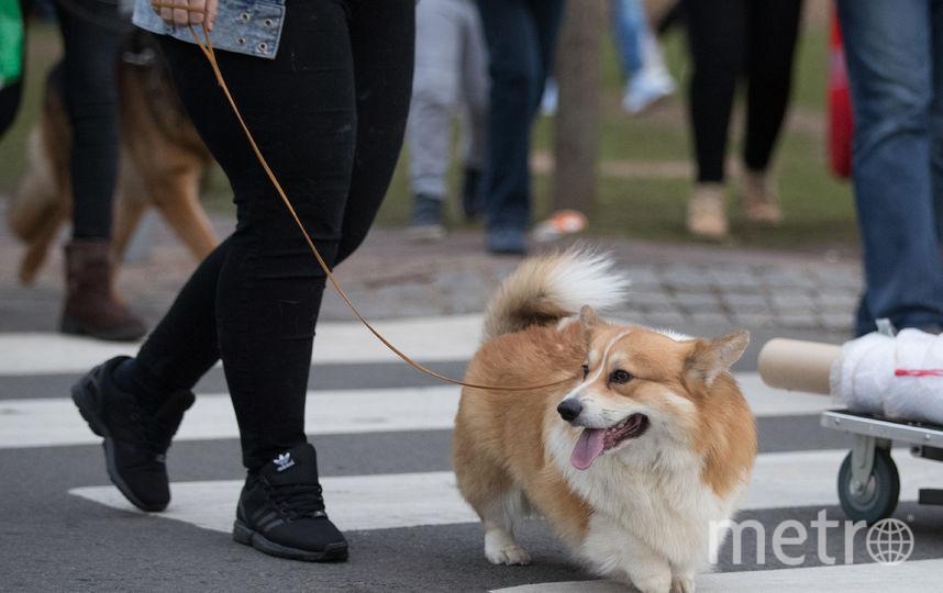 Собака породы вельш-корги пемброк. Фото Getty