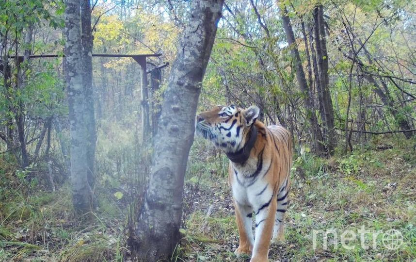Тигр Боря в объективе фотоловушек. Фото www.facebook.com/tigercentre