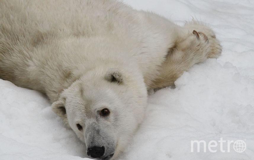 Белые медведи. Фото Getty