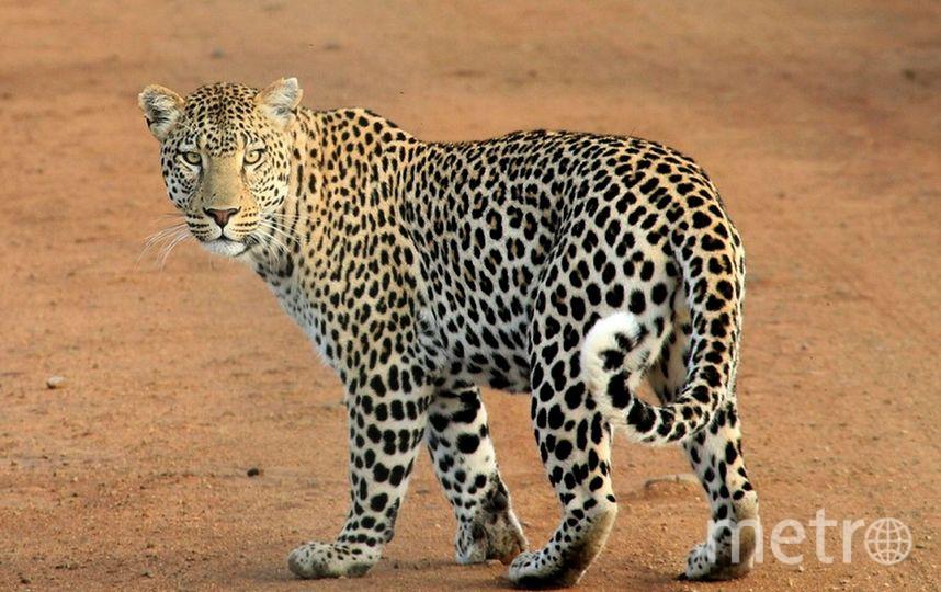 Леопард. Фото Pixabay