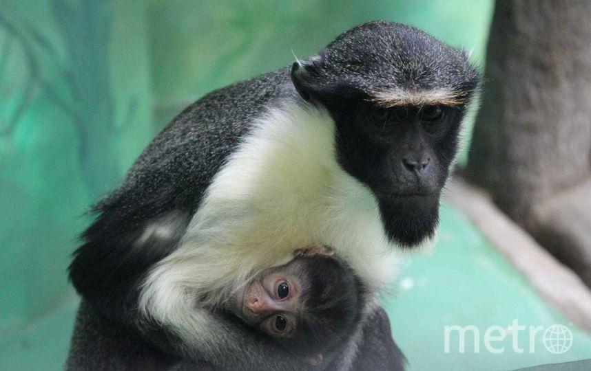 Мартышка Фиона с детёнышем. Фото Предоставлено Московским зоопарком.