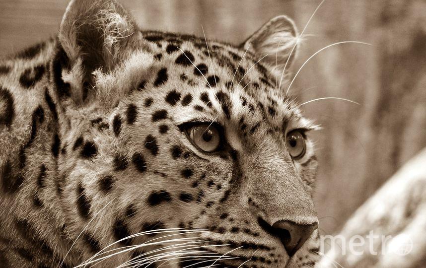 Леопард напал на 4-летнюю девочку в цирке на Цветном бульваре в Москве. Фото pixabay