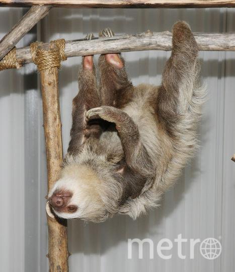 Двупалый ленивец. Фото Getty