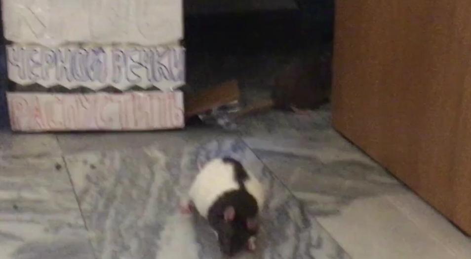 Крыс пустили погулять по петербургскому ЗакСу: Видео. Фото Скриншот видео