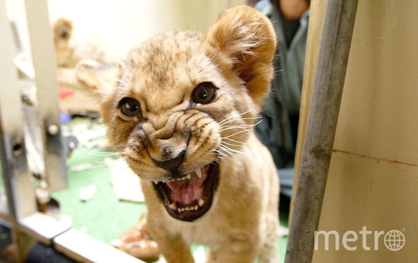 Спасённому львёнку менее двух месяцев. Фото Getty