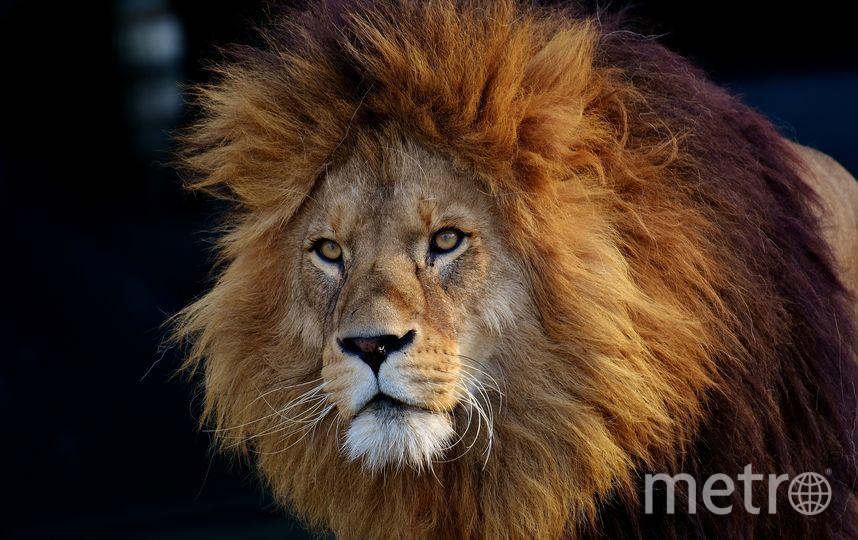 Лев. Фото pixabay