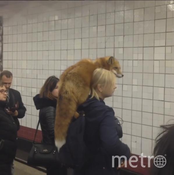 Лиса-краса на плече хозяйки в метрополитене. Фото Скриншот видео Instagram/@valerasupertrener