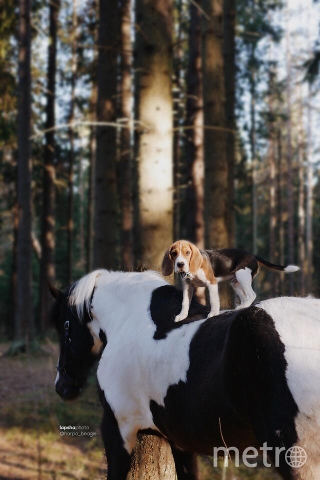 10-месячный Харпо обожает держать кисточку в зубах. Фото Предоставлено хозяйкой бигля