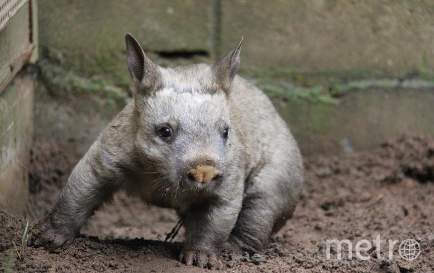 Вомбаты - ночные животные. Большую часть жизни они проводят под землёй и роют тоннельные ходы. Фото Getty