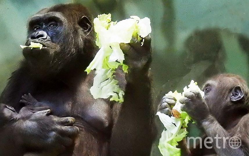 Детёныш равнинной гориллы в Московском зоопарке. Фото Портал мэра и правительства Москвы
