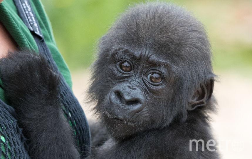 Равнинная горилла. Фото Getty