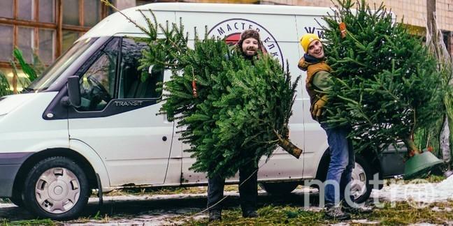 Живые елки и пихты в Петербурге.