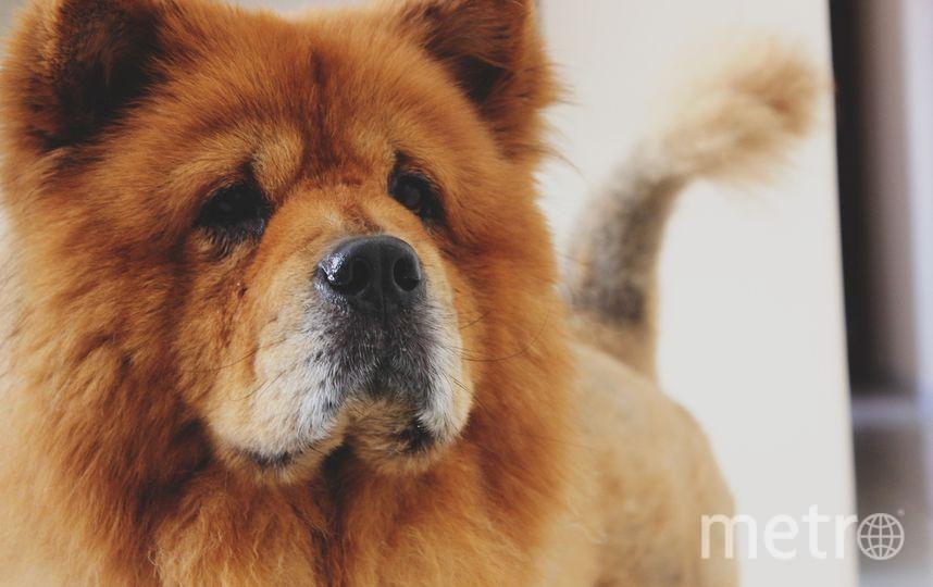 В Британии отправили в питомник щенка чау-чау после того, как он укусил полицейского. Фото Pixabay.com