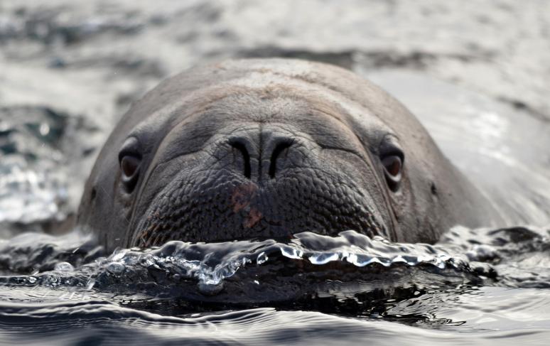 Атлантический морж, земля Франца-Иосифа. Фото Юрий Лебедев, WWF