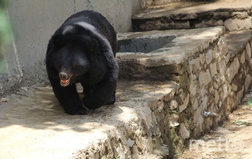 Гималайский медведь. Фото pixabay