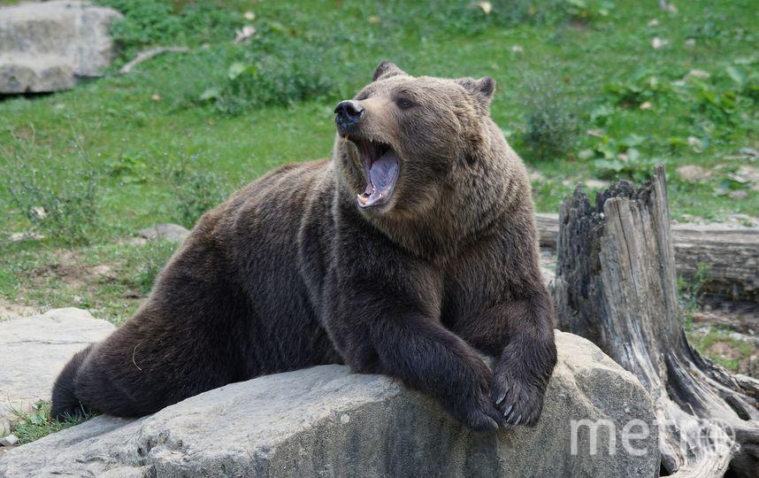 Бурый медведь. Фото pixabay