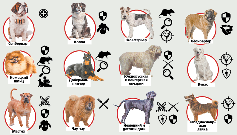"""Для чего разводились те или иные породы собак. Фото Инфографика: Павел Киреев, """"Metro"""""""