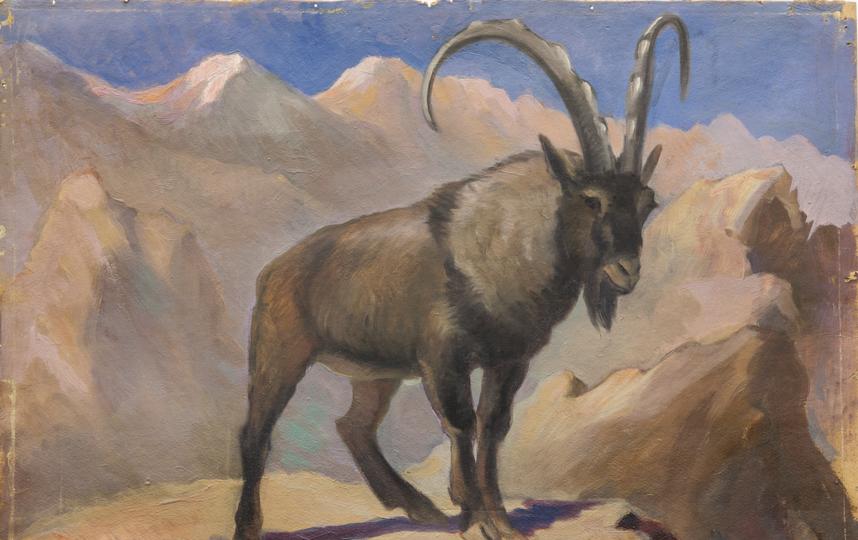 Безоаровый козёл. Фото Предоставлено Дарвиновским музеем