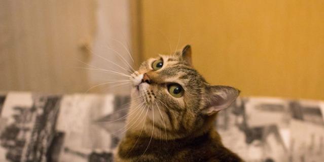 Кошка Френси.