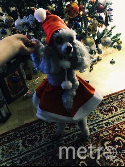 """Стефи совсем не против наряжаться. Тем более, под елочкой ей тоже всегда лежит подарочек. Фото Хозяйка - Кристина, """"Metro"""""""