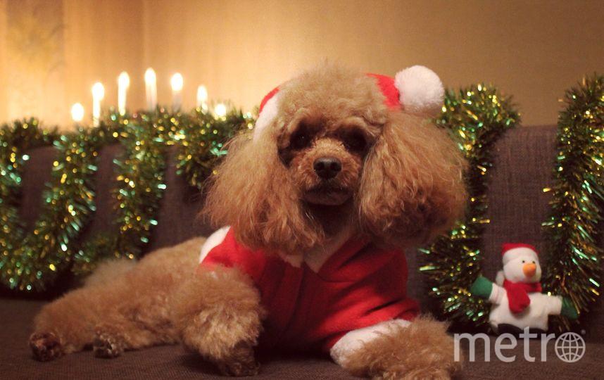 """Это наш малыш-пуделяш Сеня. Он как и мы ждёт Нового года и подарков. Фото Елена, """"Metro"""""""