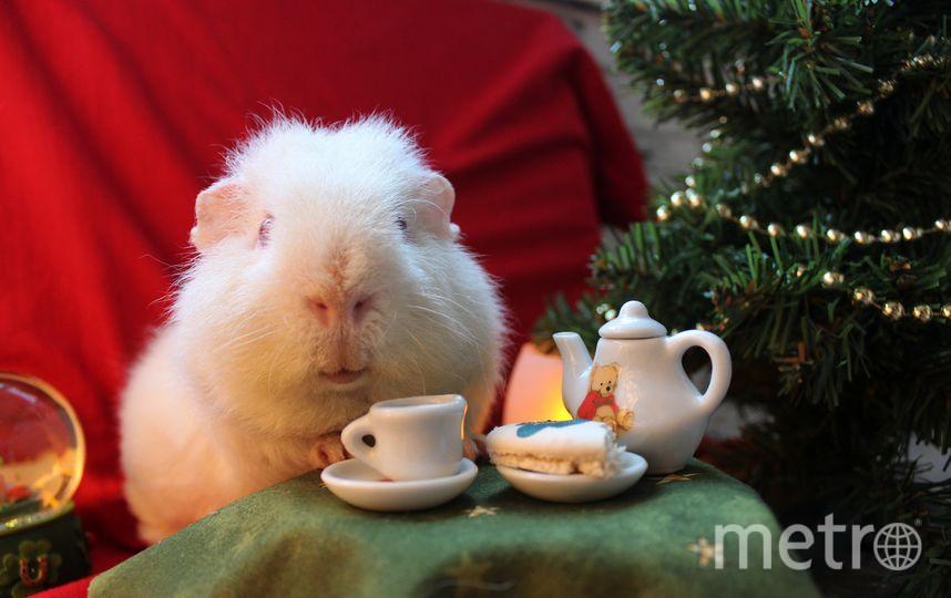 """Морская свинка по имени """"Снежик"""" ждёт новогодний фуршет. Фото """"Metro"""""""