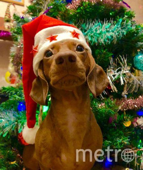"""Наша любимая такса Нора в ожидании Нового года! Фото Ирина, """"Metro"""""""