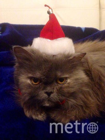 """Наша кошка Фима в преддверии Нового Года. Фото Валерия С., """"Metro"""""""