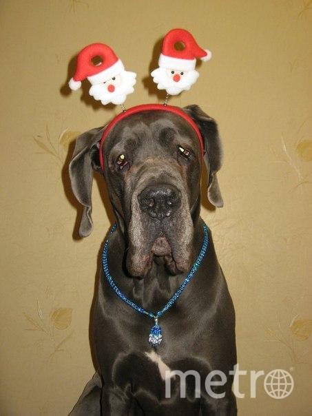 """Это мой немецкий дог, Люкс. Каждый Новый год мы встречали вместе, угощались, наряжались и гуляли, потому что Люкс ОЧЕНЬ любил смотреть новогодние фейерверки и, в отличие от многих других собак, совершенно их не боялся. Наоборот, задирал голову в ночное небо и с интересом разглядывал))) Сейчас у нас другой питомец, тоже немецкий дог, но традиции остались прежними. Фото """"Metro"""""""