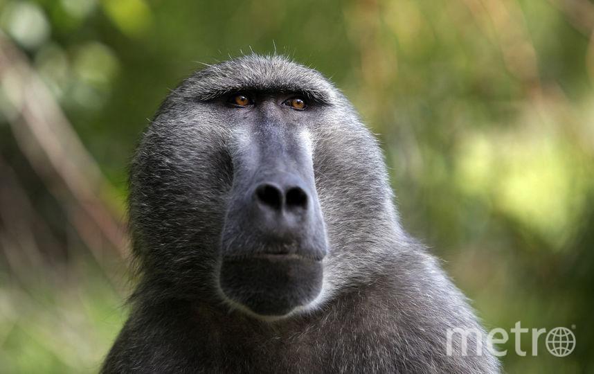 Двое бабуинов преодолели 180-дневный рубеж после трансплантации. Фото Getty