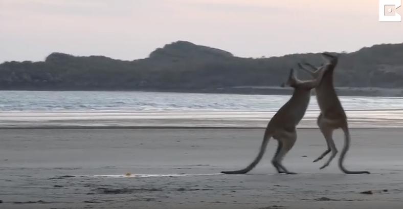 В Сети обсуждают видео, как малыш-кенгуру бросился разнимать дерущихся самцов. Фото скриншот YouTube