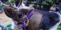 От саней Деда Мороза отстегнулся: заблудившегося в Пушкине оленя сняли на видео