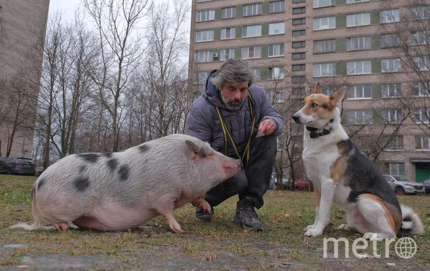 """Когда-то Фира была милым поросёнком, а сейчас она весит больше 50 кг. На фото – со своим хозяином Дмитрием и другом собакой Майком. Фото Алена Бобрович., """"Metro"""""""