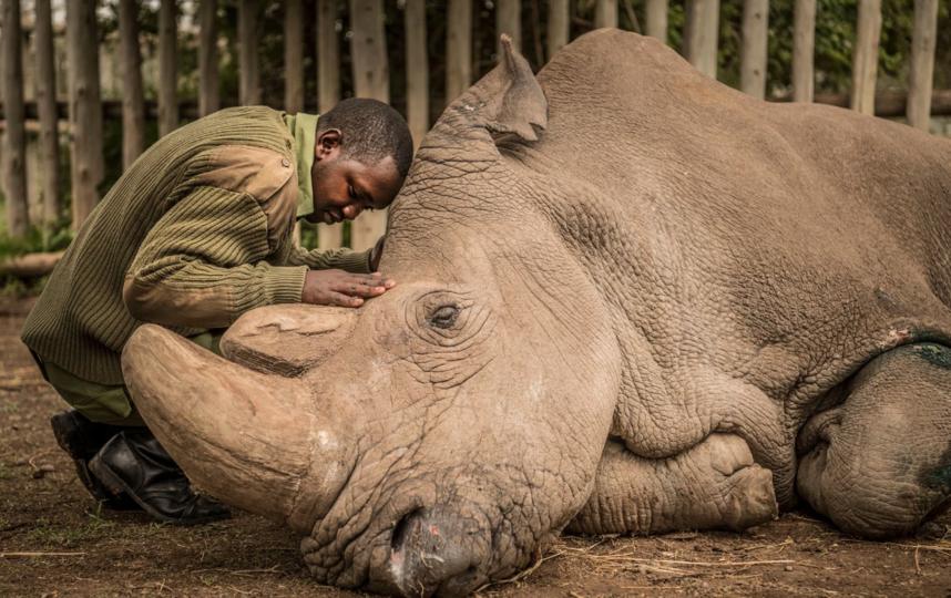 Прощание со старейшим белым носорогом планеты в Судане. Фото National Geographic Creative