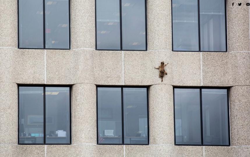 Енот, забравшийся на высотку в Миннесоте. Фото Minnesota Public Radio/