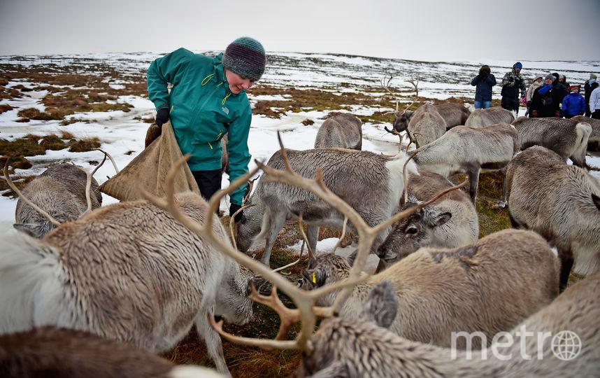 Люди кормят северных оленей. Фото Getty