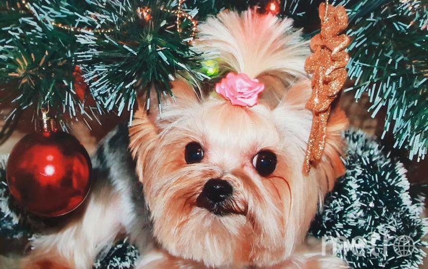 """Лютик в ожидании новогоднего волшебства. Фото """"Metro"""""""